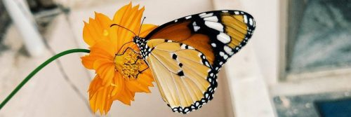 butterfly sucks honey out of yellow flower